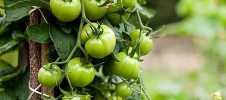 Tomatenpflanze mit unreifen Früchten