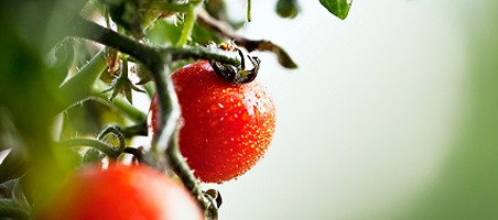 Tomaten-Sortenvielfalt