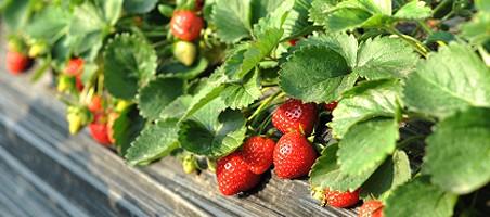 Erdbeerpflanzen winterfest machen