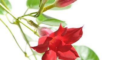 Blühende Dipladenia