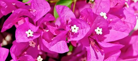 Bougainvillea Blüten