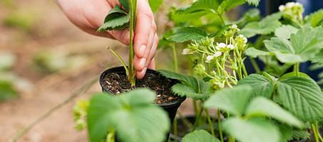 Erdbeerpflanzen vermehren
