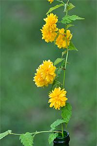 Ranunkel-Blüten