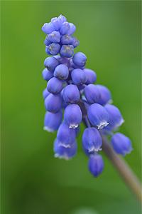 Traubenhyazinthe Blüte