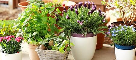 Balkonpflanzen online kaufen