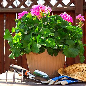 Geranien auf dem Balkon pflegen