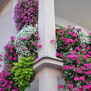 Pflegeleichte Balkonpflanzen Balkonania