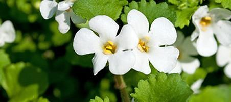 Schneeflockenblume