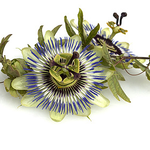 Passiflora-Arten