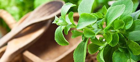 Stevia selber anbauen