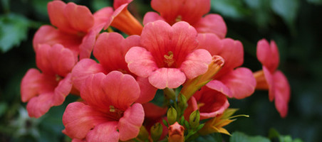 Trompetenblumen