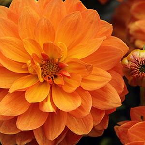 Balkonpflanzen Mit Orangen Bluten Orange Bluhende Balkonblumen