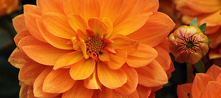 Balkonpflanzen mit orangen Blüten