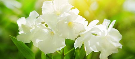Schädlinge am Oleander