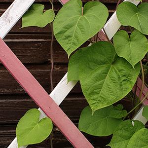 Rankgitter | Rankhilfen Für Kletterpflanzen Auf Balkon Und Terrasse Kletterpflanzen Balkon Und Terrassen
