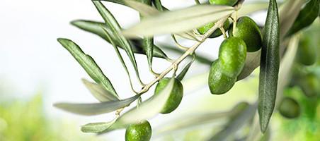 Olivenbäumchen überwintern