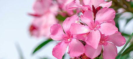 Krankheiten am Oleander