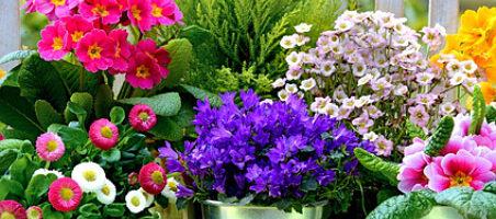 Balkonpflanzen kaufen