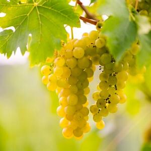 Berühmt Weinreben auf dem Balkon | Pro und Contra für Weinreben im Kübel &PA_94