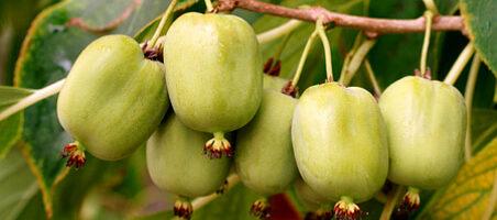 Früchte einer Kiwi