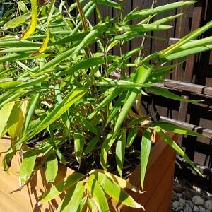 Bambus Auf Dem Balkon Tipps Zur Pflege Dem Standort Und Uberwintern