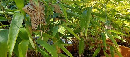 Bambus im Kübel auf der Terrasse