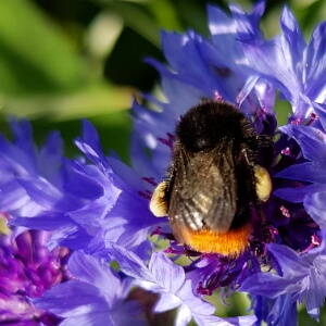 Insekt auf Kornblume